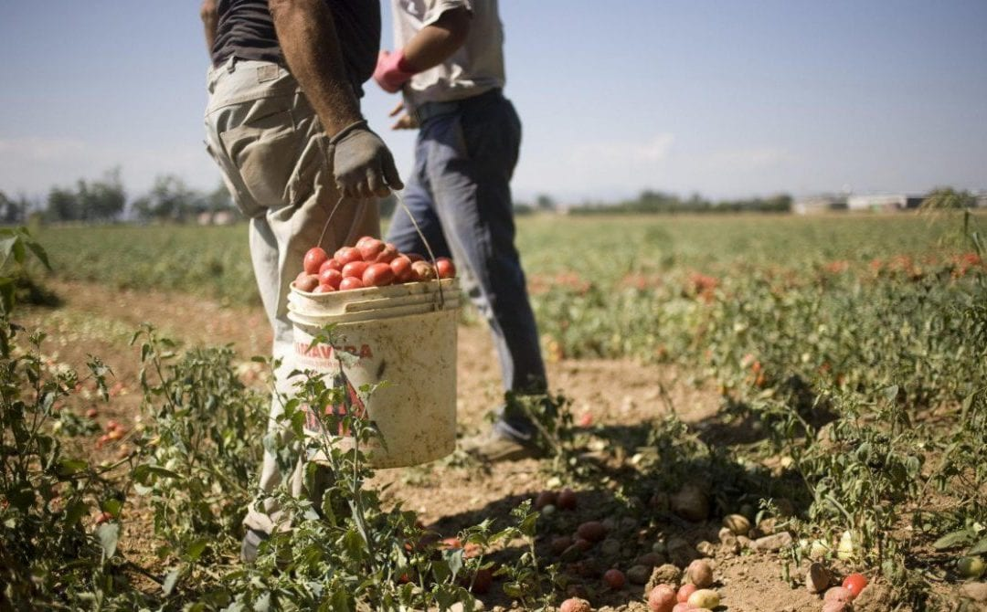 FLAI, FAI and UILA act against endless slaughter in tomato harvesting